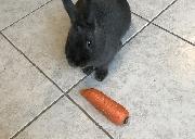 因回国,兔子送养